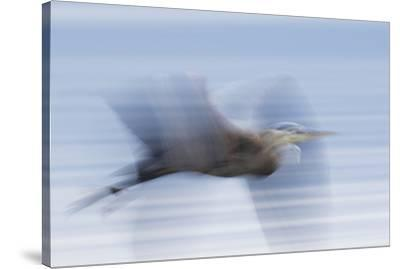 Great Blue Heron, abstract flight-Ken Archer-Stretched Canvas Print