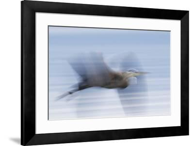 Great Blue Heron, abstract flight-Ken Archer-Framed Premium Photographic Print