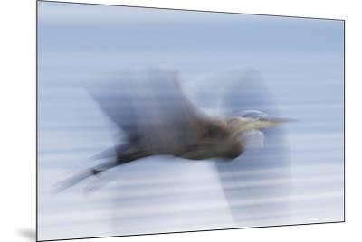 Great Blue Heron, abstract flight-Ken Archer-Mounted Premium Photographic Print