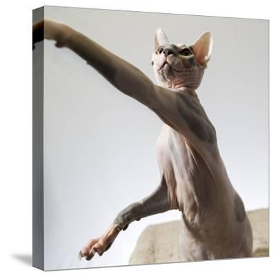 A hairless sphinx cat takes a swing at a toy-James White-Stretched Canvas Print