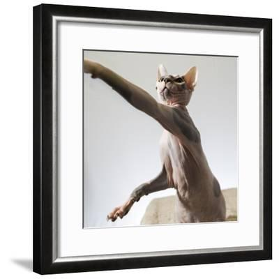 A hairless sphinx cat takes a swing at a toy-James White-Framed Photographic Print