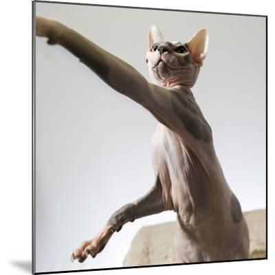 A hairless sphinx cat takes a swing at a toy-James White-Mounted Photographic Print