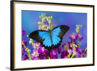 Australian Mountain Blue Swallowtail Butterfly-Darrell Gulin-Framed Premium Photographic Print