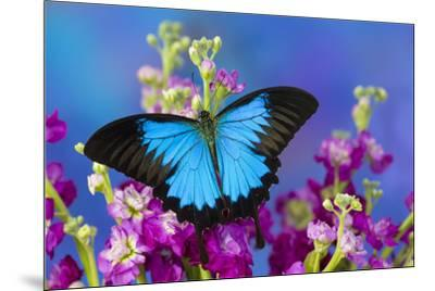 Australian Mountain Blue Swallowtail Butterfly-Darrell Gulin-Mounted Premium Photographic Print