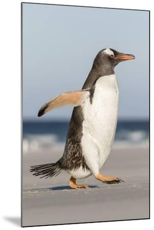 Gentoo Penguin Falkland Islands. Marching at evening to the colony.-Martin Zwick-Mounted Premium Photographic Print