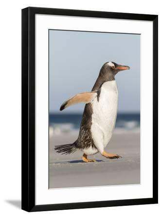 Gentoo Penguin Falkland Islands. Marching at evening to the colony.-Martin Zwick-Framed Premium Photographic Print