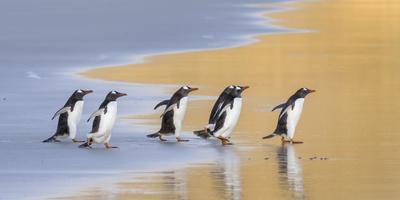 Gentoo Penguin Falkland Islands.-Martin Zwick-Framed Photographic Print
