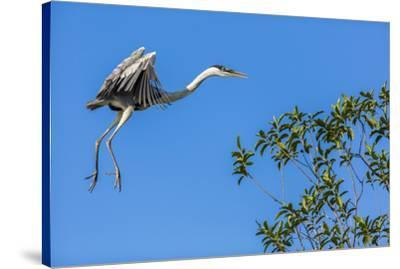 Great Blue Heron prepares to land on a tree over the Brazilian Pantanal-James White-Stretched Canvas Print