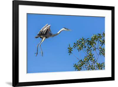 Great Blue Heron prepares to land on a tree over the Brazilian Pantanal-James White-Framed Premium Photographic Print