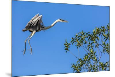 Great Blue Heron prepares to land on a tree over the Brazilian Pantanal-James White-Mounted Premium Photographic Print