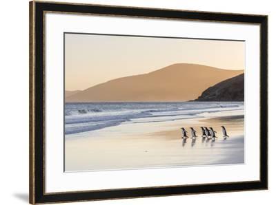 Gentoo Penguin Falkland Islands.-Martin Zwick-Framed Premium Photographic Print
