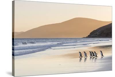 Gentoo Penguin Falkland Islands.-Martin Zwick-Stretched Canvas Print