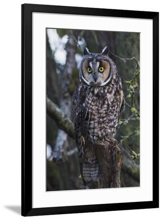 Long-eared Owl-Ken Archer-Framed Premium Photographic Print