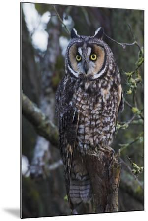 Long-eared Owl-Ken Archer-Mounted Premium Photographic Print