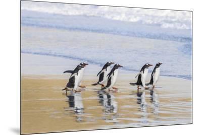 Gentoo Penguin Falkland Islands.-Martin Zwick-Mounted Premium Photographic Print