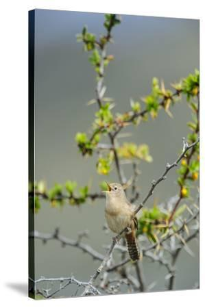 Chile, Aysen, Valle Chacabuco. House Wren in Patagonia Park.-Fredrik Norrsell-Stretched Canvas Print