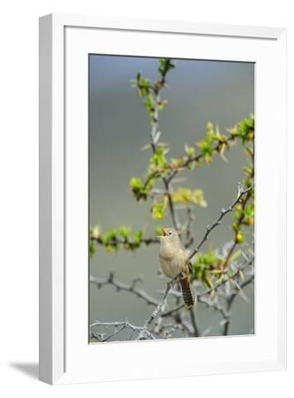 Chile, Aysen, Valle Chacabuco. House Wren in Patagonia Park.-Fredrik Norrsell-Framed Premium Photographic Print