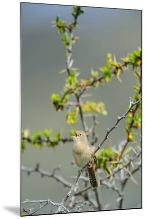 Chile, Aysen, Valle Chacabuco. House Wren in Patagonia Park.-Fredrik Norrsell-Mounted Premium Photographic Print