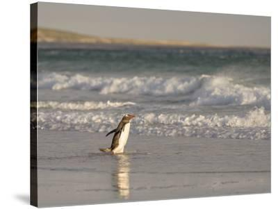 Gentoo Penguin Falkland Islands.-Martin Zwick-Stretched Canvas Print