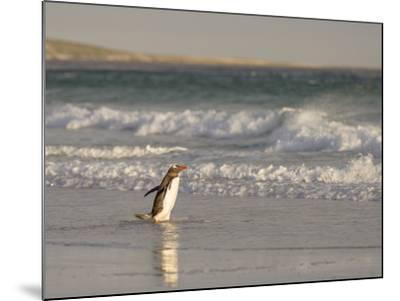 Gentoo Penguin Falkland Islands.-Martin Zwick-Mounted Photographic Print