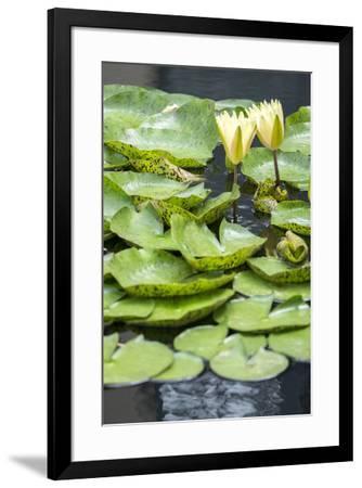 Hardy Waterlily, USA-Lisa S^ Engelbrecht-Framed Premium Photographic Print