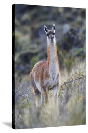 Chile, Aysen, Valle Chacabuco. Guanaco in Patagonia Park.-Fredrik Norrsell-Stretched Canvas Print