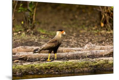 A crested caracara walks along a river bank in the Pantanal, Brazil-James White-Mounted Premium Photographic Print