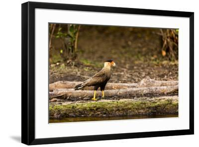 A crested caracara walks along a river bank in the Pantanal, Brazil-James White-Framed Premium Photographic Print