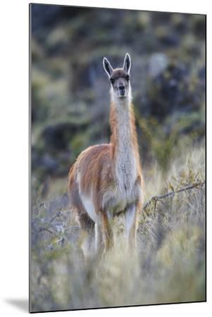 Chile, Aysen, Valle Chacabuco. Guanaco in Patagonia Park.-Fredrik Norrsell-Mounted Premium Photographic Print