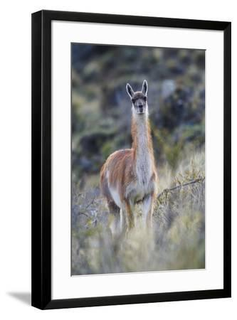 Chile, Aysen, Valle Chacabuco. Guanaco in Patagonia Park.-Fredrik Norrsell-Framed Premium Photographic Print