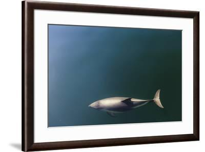 Chile, Patagonia, Lake District. Peale's Dolphin in Estero Cahuelmo.-Fredrik Norrsell-Framed Premium Photographic Print