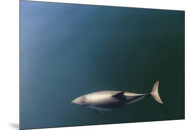 Chile, Patagonia, Lake District. Peale's Dolphin in Estero Cahuelmo.-Fredrik Norrsell-Mounted Premium Photographic Print
