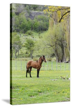Chile, Aysen, Cerro Castillo. Horse in pasture.-Fredrik Norrsell-Stretched Canvas Print