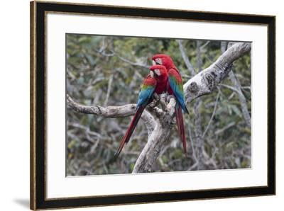 South America, Brazil, Mato Grosso do Sul, Jardim, A pair of red-and-green macaws together.-Ellen Goff-Framed Premium Photographic Print