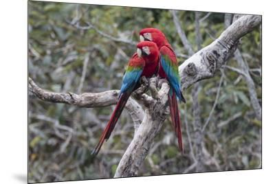 South America, Brazil, Mato Grosso do Sul, Jardim, A pair of red-and-green macaws together.-Ellen Goff-Mounted Premium Photographic Print