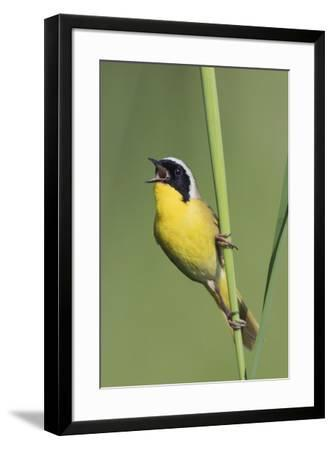 Common Yellowthroat Warbler Singing-Ken Archer-Framed Premium Photographic Print