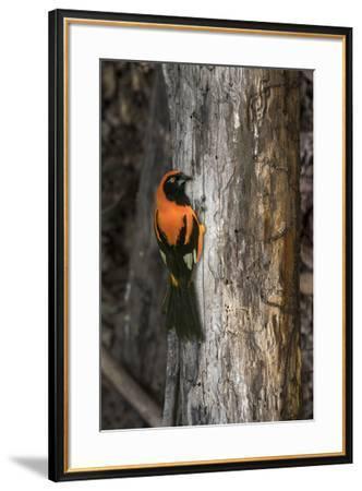 Brazil, Pantanal. Orange-backed Troupial on tree.-Jaynes Gallery-Framed Premium Photographic Print