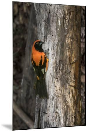 Brazil, Pantanal. Orange-backed Troupial on tree.-Jaynes Gallery-Mounted Premium Photographic Print