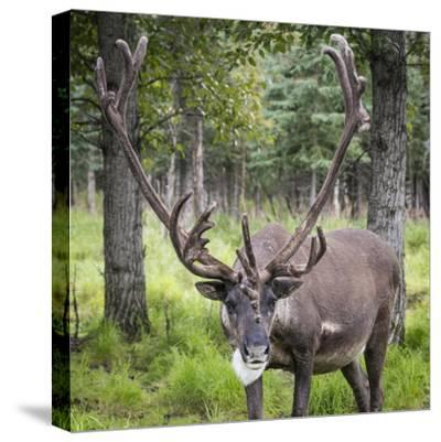 USA, Alaska, Chena Hot Springs of caribou.-Jaynes Gallery-Stretched Canvas Print