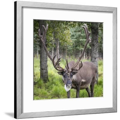 USA, Alaska, Chena Hot Springs of caribou.-Jaynes Gallery-Framed Photographic Print