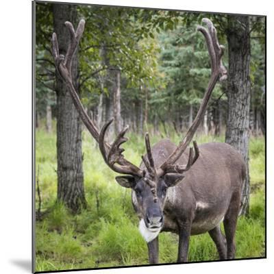 USA, Alaska, Chena Hot Springs of caribou.-Jaynes Gallery-Mounted Photographic Print
