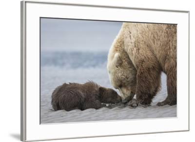 Coastal Grizzly bear cub begs for a clam. Lake Clark National Park, Alaska.-Brenda Tharp-Framed Premium Photographic Print