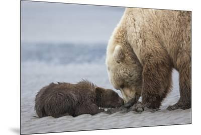 Coastal Grizzly bear cub begs for a clam. Lake Clark National Park, Alaska.-Brenda Tharp-Mounted Premium Photographic Print