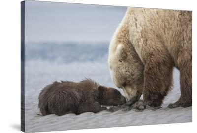 Coastal Grizzly bear cub begs for a clam. Lake Clark National Park, Alaska.-Brenda Tharp-Stretched Canvas Print