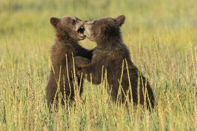 Grizzly bear cubs playfighting in a meadow.-Brenda Tharp-Framed Premium Photographic Print