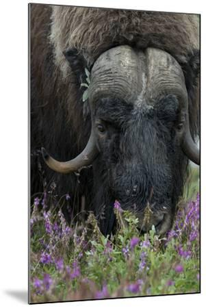 Alaska, Nome. Muskox male with wildflowers.-Cindy Miller Hopkins-Mounted Premium Photographic Print