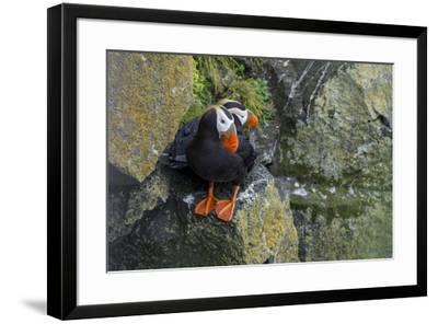 Alaska, Pribilof Islands, Saint Paul. Tufted puffin.-Cindy Miller Hopkins-Framed Premium Photographic Print