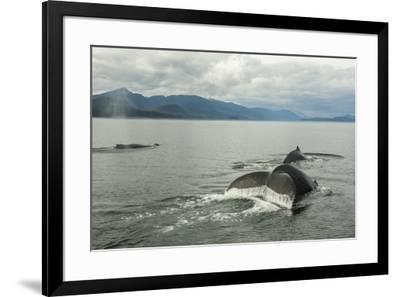 USA, Alaska, Tongass National Forest. Humpback whales surfacing & diving.-Jaynes Gallery-Framed Premium Photographic Print