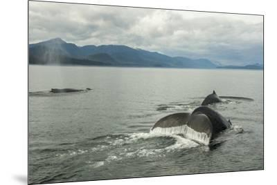 USA, Alaska, Tongass National Forest. Humpback whales surfacing & diving.-Jaynes Gallery-Mounted Premium Photographic Print