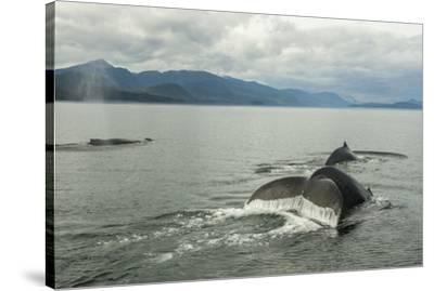 USA, Alaska, Tongass National Forest. Humpback whales surfacing & diving.-Jaynes Gallery-Stretched Canvas Print